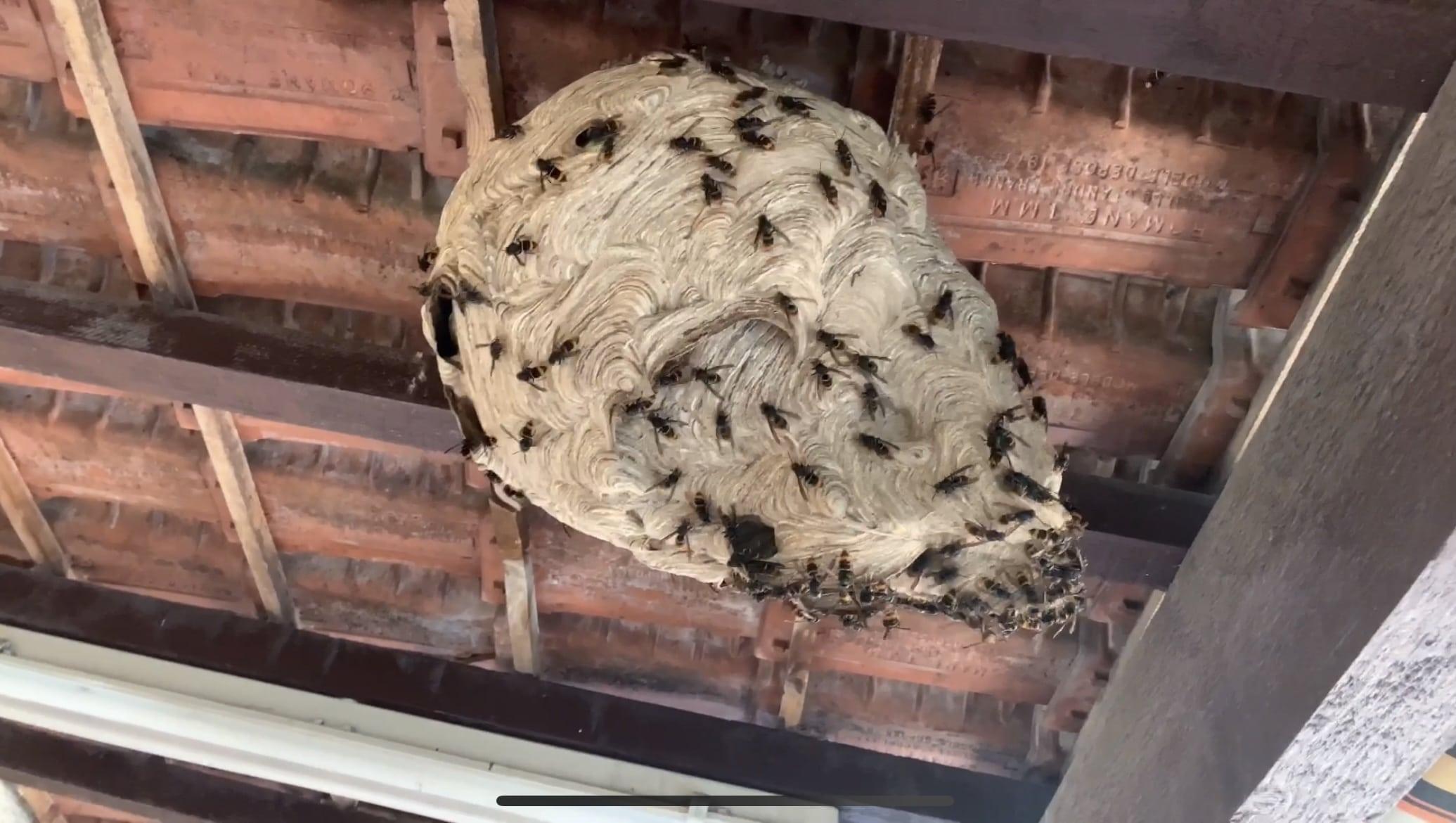 nid de frelons asiatique Uzès