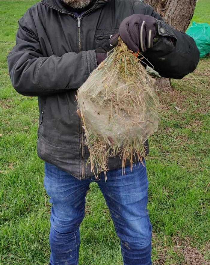echenillage naturel des chenilles processionnaires du pin gros cocon