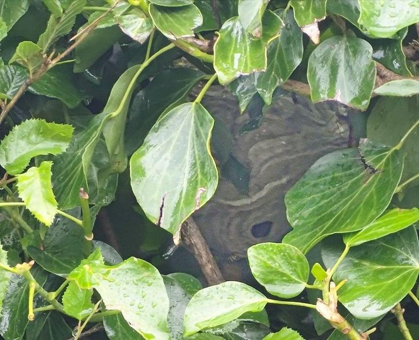 Nid de Guêpes dans un buisson